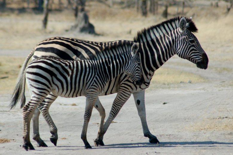 Moremi Botswana - ExplorationVacation - 09-21_02-29-01 zebra