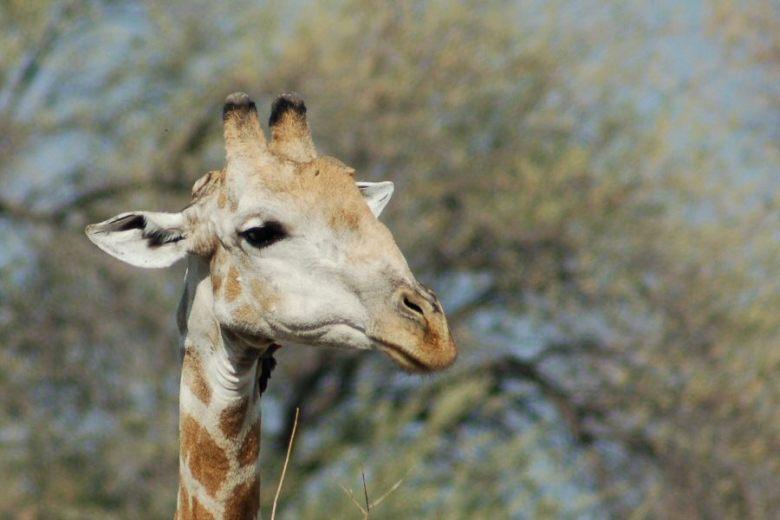 Moremi Botswana - ExplorationVacation - 2005-09-21_01-45-57 giraffe