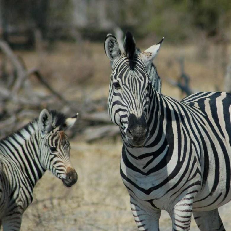 Moremi Botswana - ExplorationVacation - 2005-09-21_02-31-57 more zebra