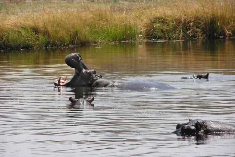 Moremi Botswana - ExplorationVacation - P9210079 hippos
