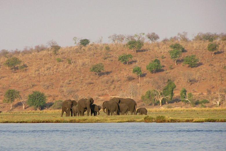 P1010040 elephants along the Chobe River - ExplorationVacation