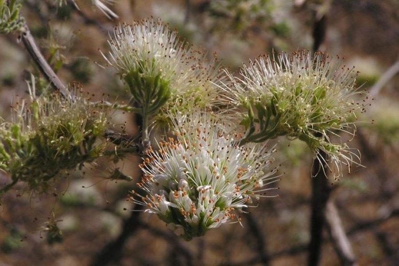 Tsodilo Hills Botswana - ExplorationVacation - P9150027 flowers