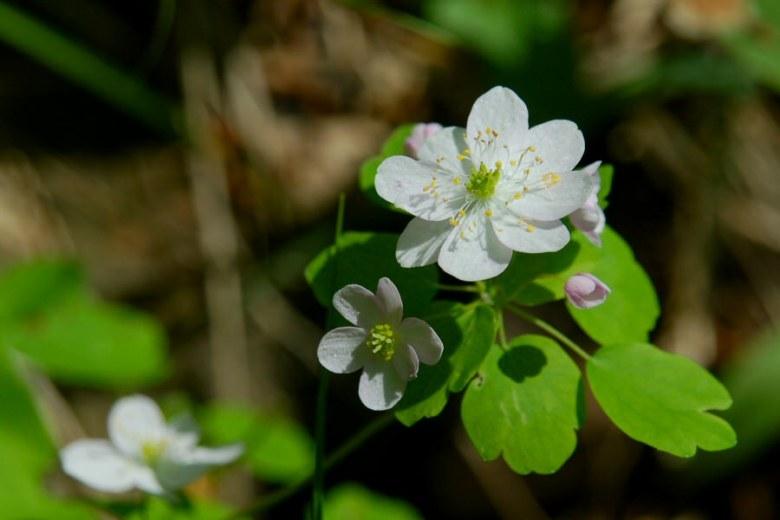 spring flower Interstate Park Minnesota - www.ExplorationVacation.net