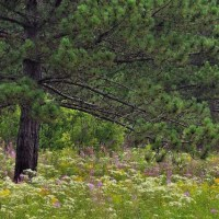 pines and flowers