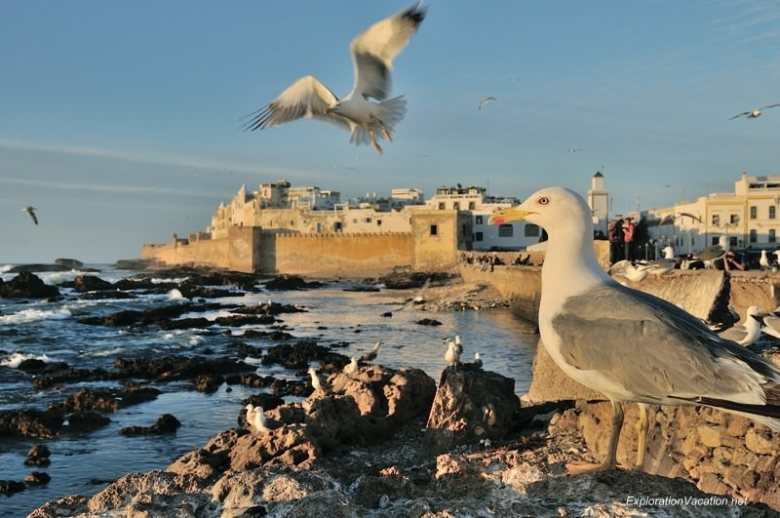 Essaouira seagulls 1 DSC_8652