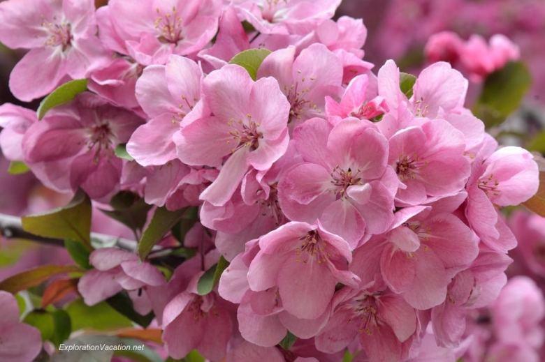 20140524-DSC_6627 blossoms in Irvine Park St Paul Minnesota