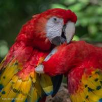 Macaws at Xcaret, Mexico