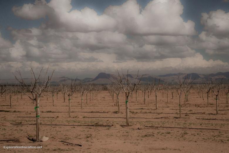 Vineyards near Bowie Arizona - ExplorationVacation.net