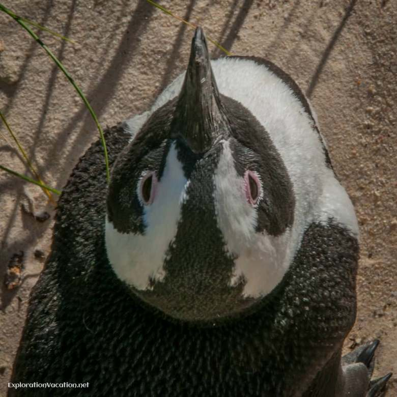 African penguin at Boulder Beach, Cape Town South Africa - ExplorationVacation.net