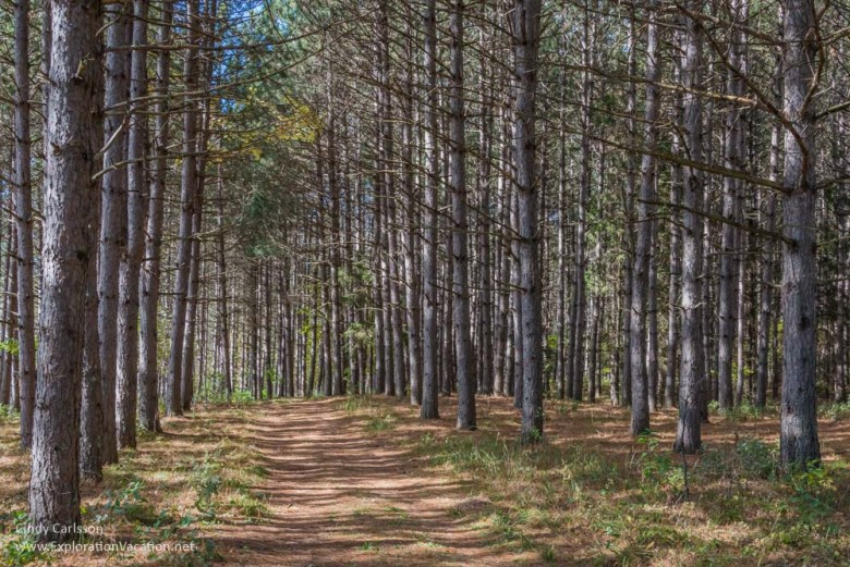 pine trees Fall in Kathio Mille Lacs State Park