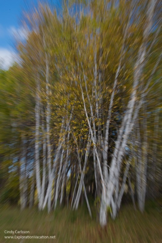 birch Fall in Kathio Mille Lacs State Park