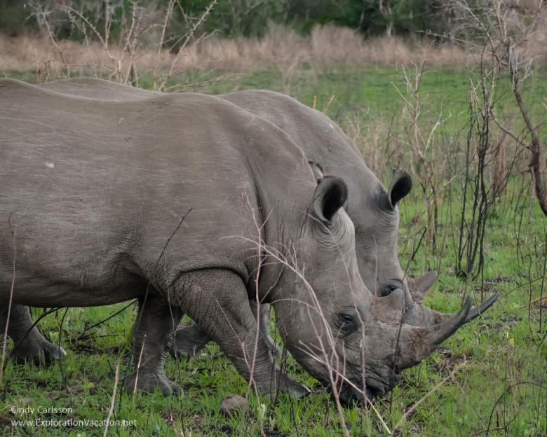 rhinos in Hluhluwe Imfolozi Game Reserve