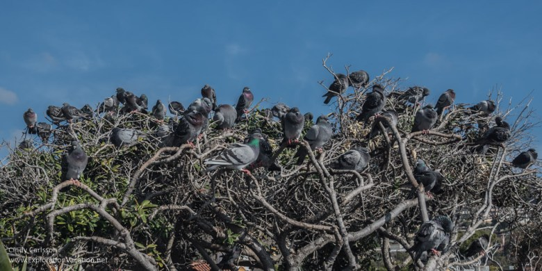 tree full of pigeons