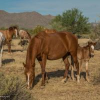 Salt River Horses, Arizona