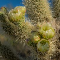 Teddy bear cholla blossoms in Arizona - ExplorationVacation.net