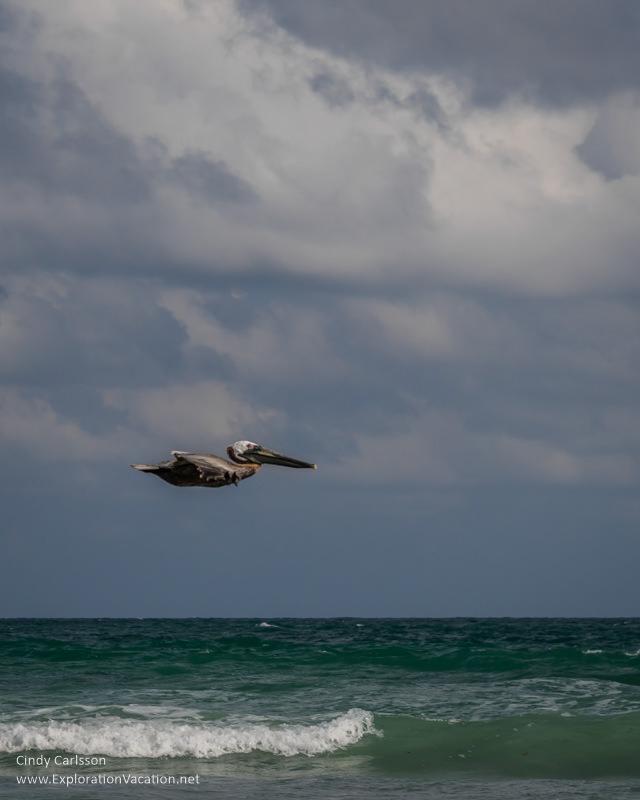 pellican in flight Playa Limpia Tulum Mexico - ExplorationVacation.net