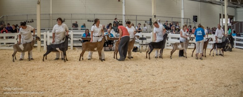 dairy goat competition at the Minnesota State Fair - www.ExplorationVacation.net
