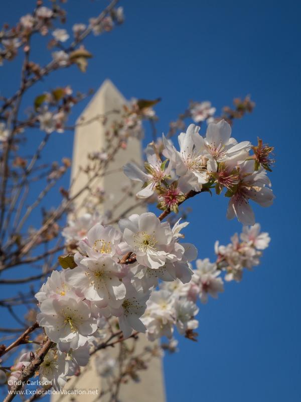 Cherry blossoms at the Washington Monument in Washington DC - ExplorationVacation.net