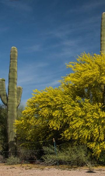 palo verde tree in bloom Arizona - www.ExplorationVacation.net