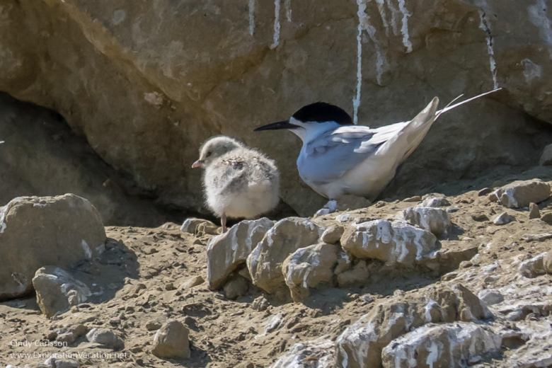 white fronted tern (Tara) cliffs at Cape Kidnappers Hawkes Bay New Zealand - www.explorationvacation.net