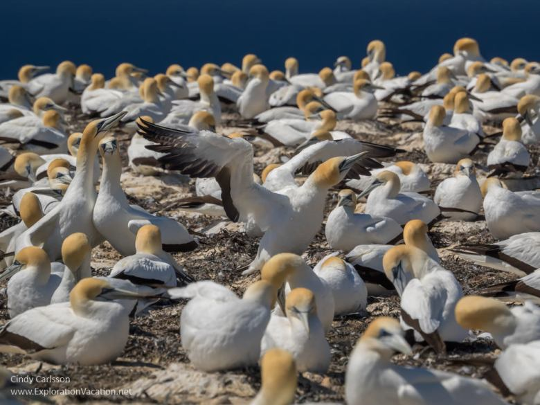 Australasian gannets Cape Kidnappers Hawkes Bay New Zealand - www.explorationvacation.net