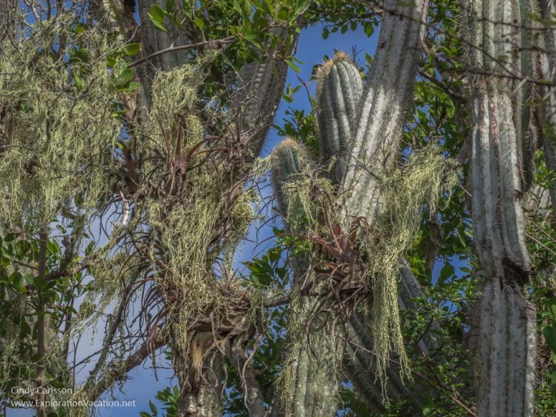 orchids, beard moss, bromeliads in Christoffel National Park Curacao - ExplorationVacation.net