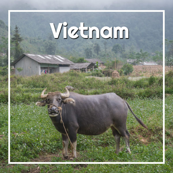 Water buffalo in northern #Vietnam - ExplorationVacation Vietnam itinerary #asia
