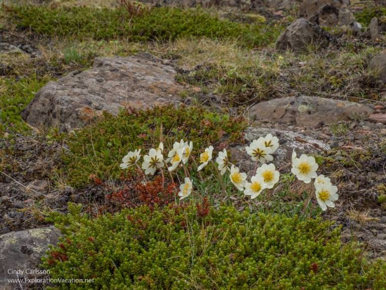 white daisies in a rocky meadow