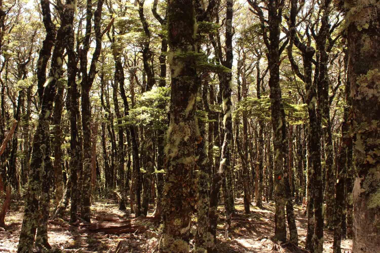 Wald Te Araroa Neuseeland Fernwanderung