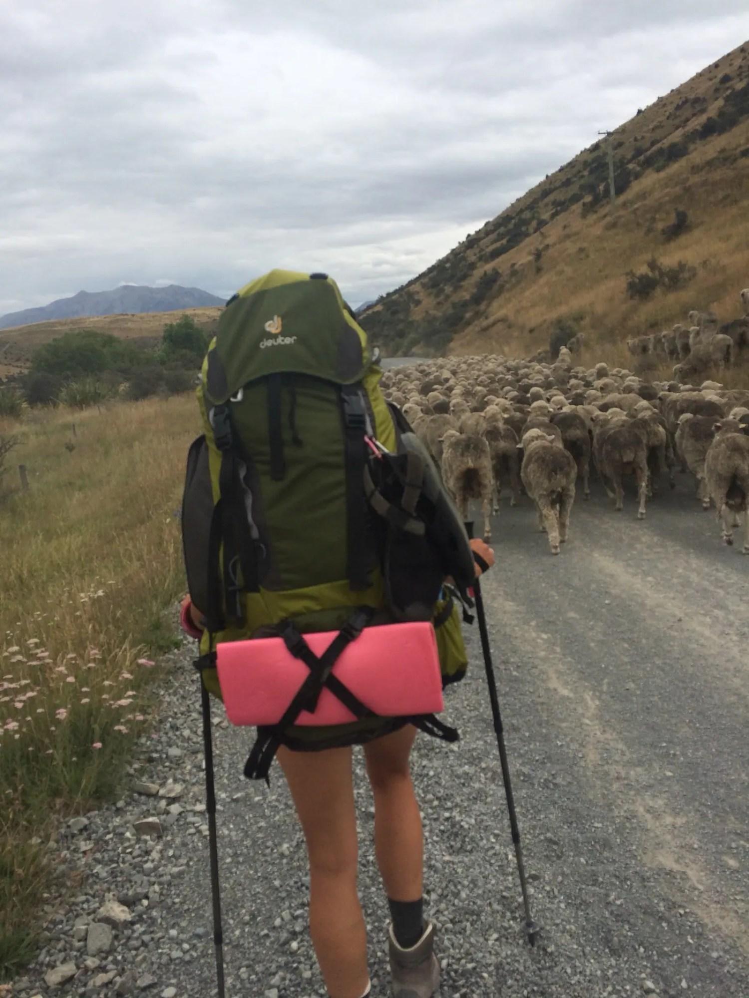 Schafe Te Araroa Neuseeland