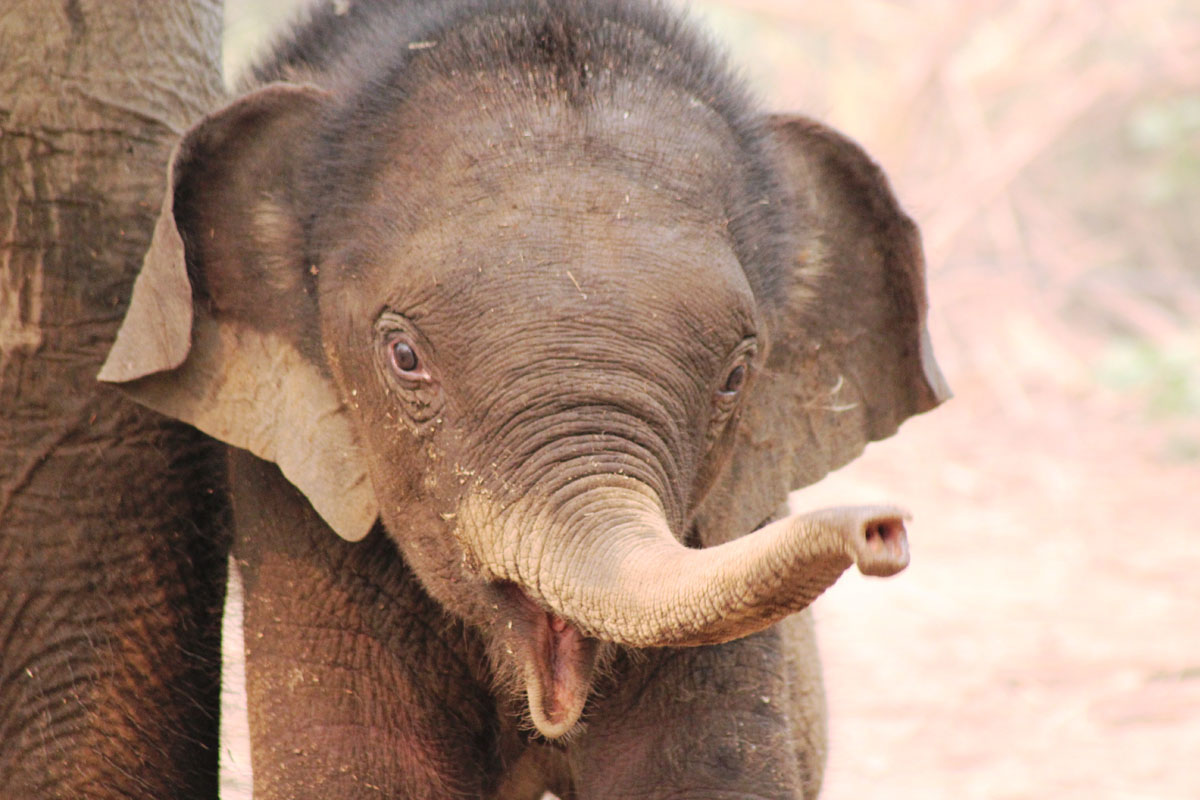 Elephant Conservation Center Laos