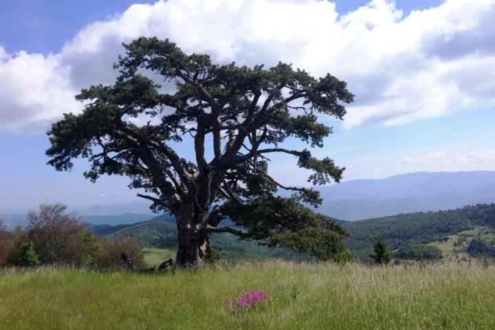 Kamena Gora, the Old pine