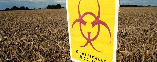 Differences found between GMO and non-GMO corn