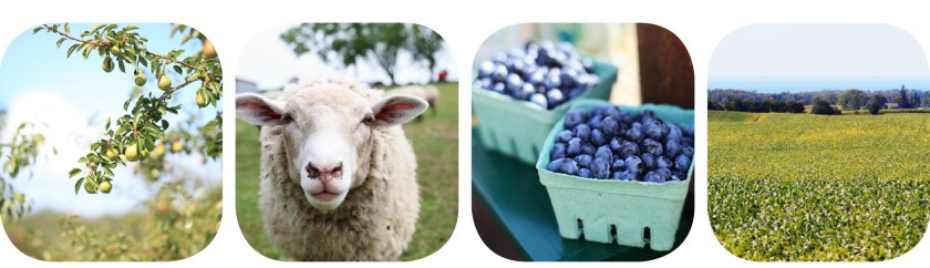 Four Photos of Pears, Sheep, Blueberries and Fields