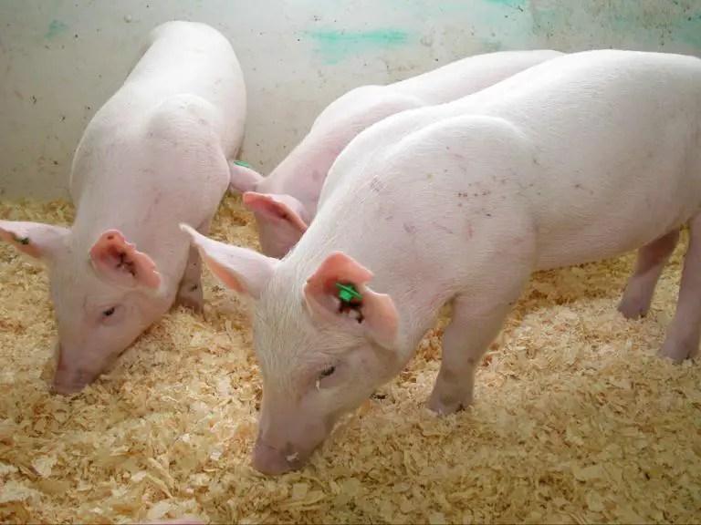 Генетически улучшенные свиньи, фото фотография животные