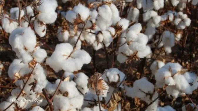 cotton-plant-field-crop-gmo