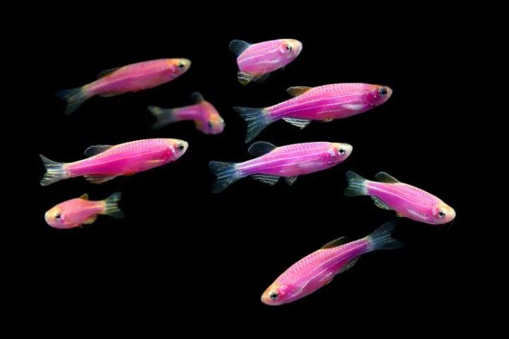 glofish-galactic-purple-danios