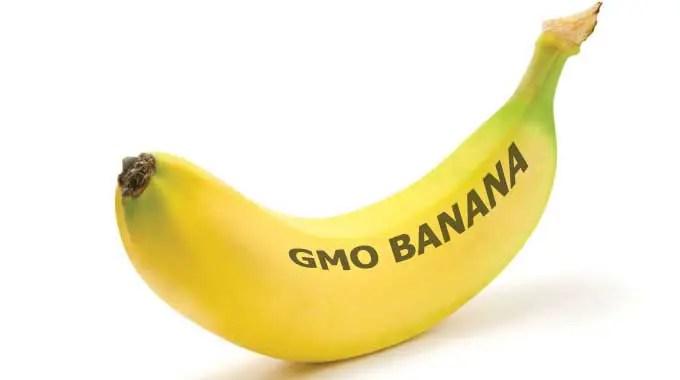 Gates Foundation, GMO banana face renewed attacks ...