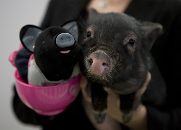 A Micro Pig With One Of The New Tomy Teacup Piggies, At The Toy Fair 2011, Which Opened At Olympia In West London, Today. (Photo by John Phillips/UK Press via Getty Images)