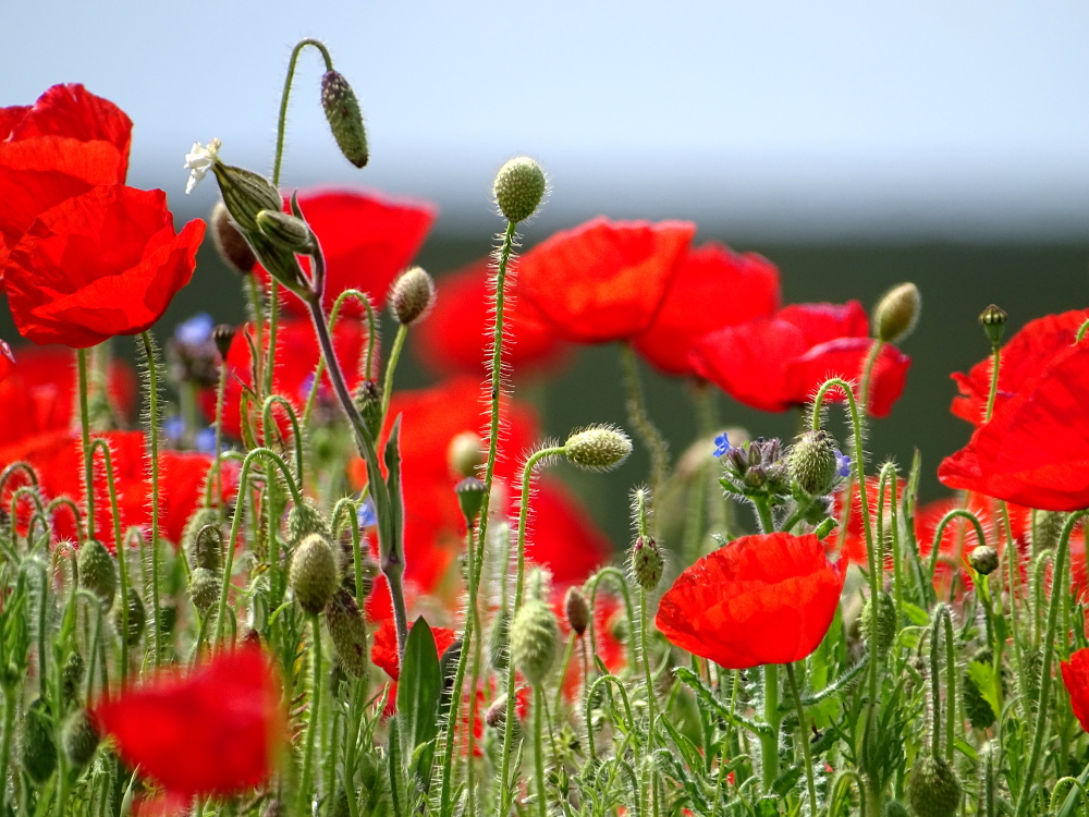West Pentire Poppies in Bloom