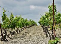 Hileras Albariza y uvas palomino para ruta definitiva del Jerez explore la tierra Jerez de la Frontera sherry tour
