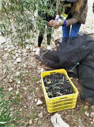 Olive oil tour amount olives collected through vareo in white village Zahara de la Sierra Cadiz