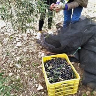 Olive oil tour amount olives collected through vareo in white village Zahara de la Sierra Cadiz