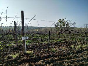 Tintilla de rota vineyard Cadiz Vejer de la Frontera