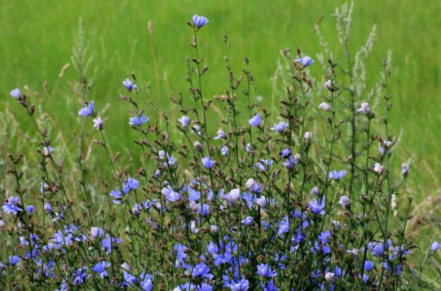 Buy chicory Supplemenets and antioxidants personal care natural products made with plants