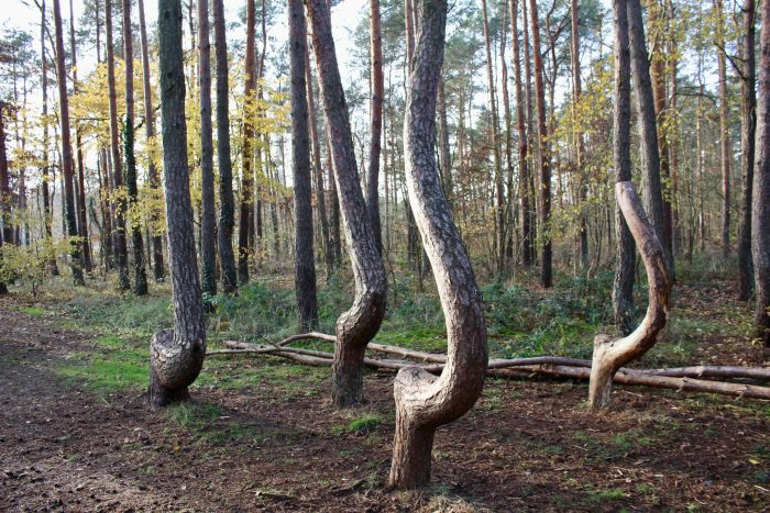 Crooked trees of the crooked forest, growing at right angles to the forest floor