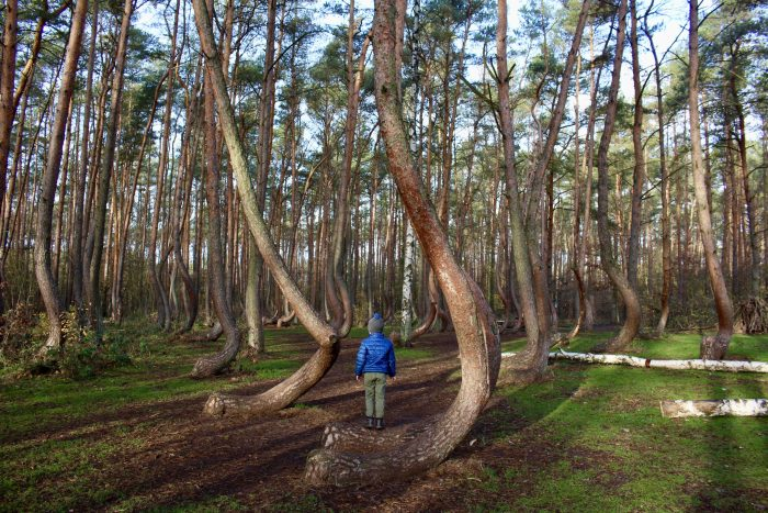 The Crooked Forest in Gryfino