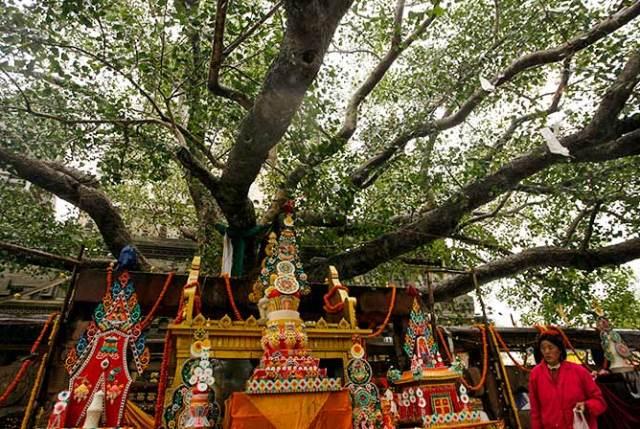 Bodhi Tree Bodhgaya