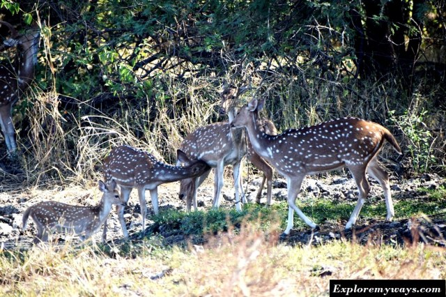 Chitals in Gir national park