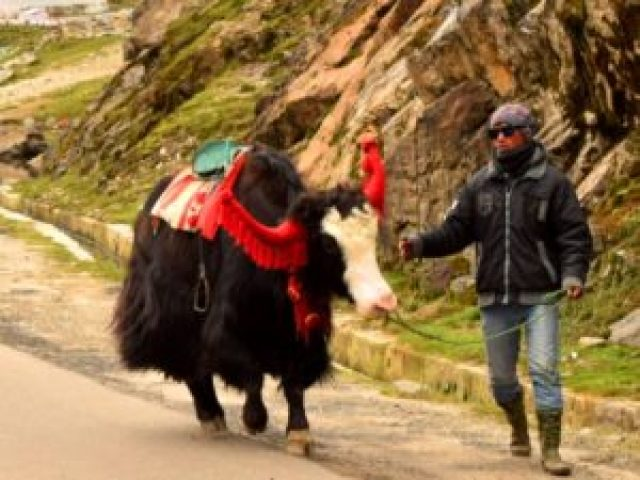 Yak ride at Changu lake Sikkim